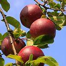 Apples by MDossat