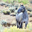 The Watchful Eye - Wild Blue Roan Stallion by A.M. Ruttle