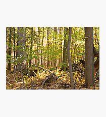 Golden Glade Photographic Print