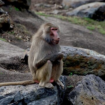 Smiling Baboon by GP1746