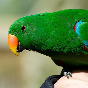 Eclectus Parrot - male by GP1746