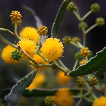 Golden Wattle by tanjents