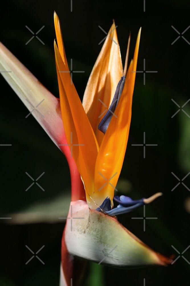 Bird of PARADISE by Joy Watson