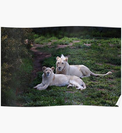 WHITE LIONS Poster