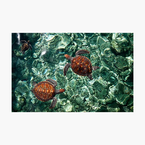 Fragile Underwater World. Sea Turtles in a Crystal Water. Maldives Photographic Print