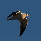 Evening Seagull by SWEEPER