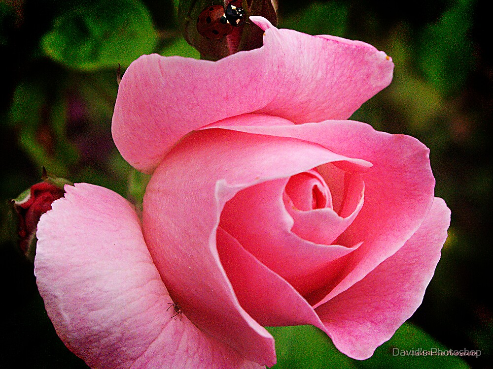 Pink Rose by David's Photoshop