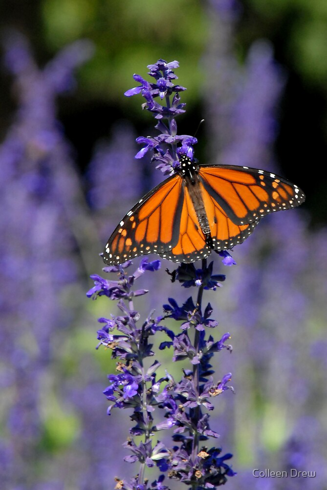 Monarch by Colleen Drew