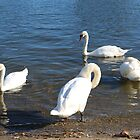 4 Swans by kalaryder