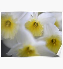 Daffodils with Lensbaby Poster