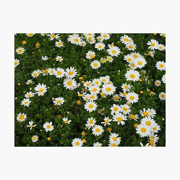 Floriade Daisies Photographic Print