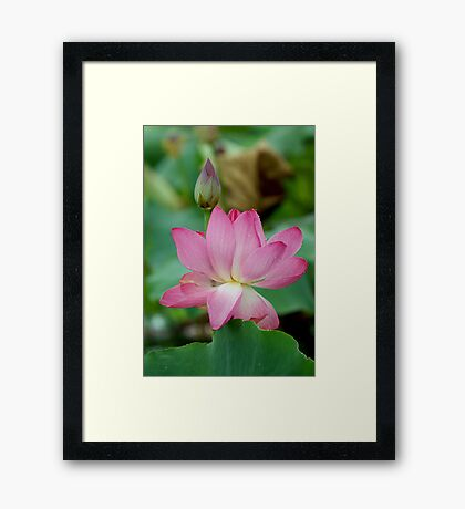 The Lovely Lotus - Mareeba Wetlands Framed Print