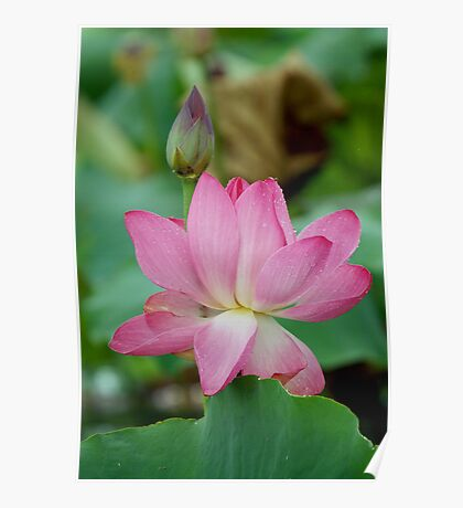 The Lovely Lotus - Mareeba Wetlands Poster