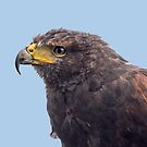 Harris Hawk #2 by Jane-in-Colour