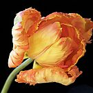 Tulip 'Apricot Parrot' by Sarah-Jane Covey