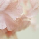 Iris 'Pink Pirouette' by Sarah-Jane Covey