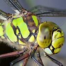 Southern Hawker  Dragonfly by RicheRifkind