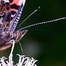 Red Admiral Butterfly by RicheRifkind
