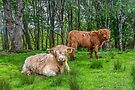 Highland Cows, Scotland by Beth A.  Richardson
