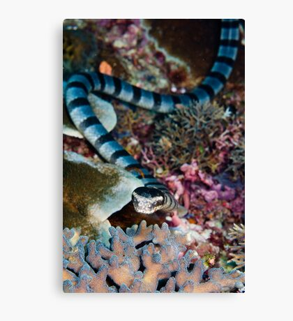 Banded sea snake Canvas Print