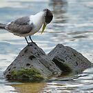 Crested Tern by Vickie Burt