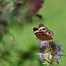 Common Buckeye on Hummingbird Mint by Gretchen Dunham