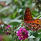 Gulf Fritillary on Butterfly Bush by Gretchen Dunham