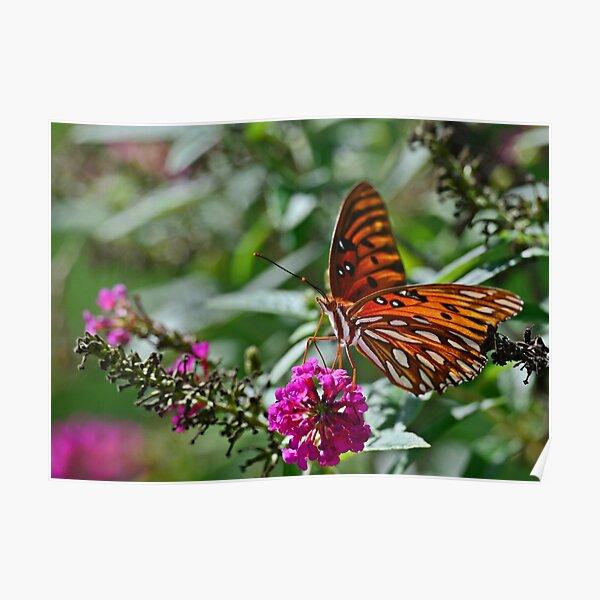Gulf Fritillary on Butterfly Bush Poster