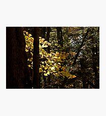 Sunlit Leaves Photographic Print
