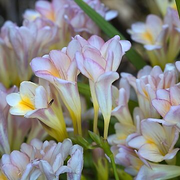 Soft Toned Freesias by bubbleblue