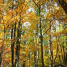Golden Forest by Rachel Stickney