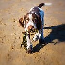 Brown Roan Italian Spinone Puppy Dog Retrieving Seaweed At The Beach by heidiannemorris