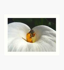 Bee in Arum Art Print