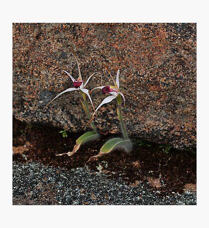 Caladenia nivalis Photographic Print