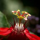 Red passion flower close-up by Zina Stromberg