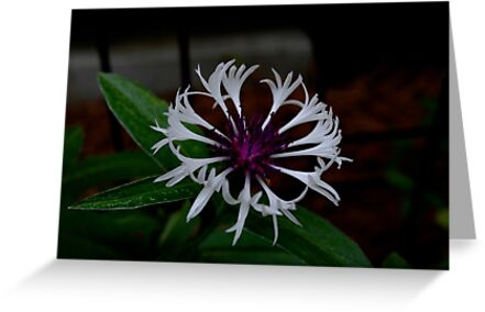 White and Purple Bachelor Button by Katherine Harris