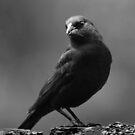 Blackbird by Laurie Minor