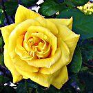 Goldene Doppelherzige Rose von BlueMoonRose