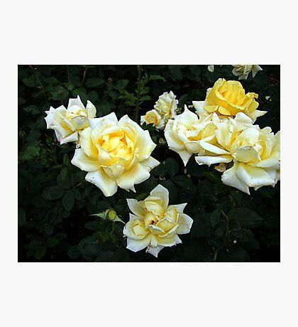 Berolina Rose Photographic Print