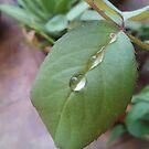 Rain drops on a leaf by nasera