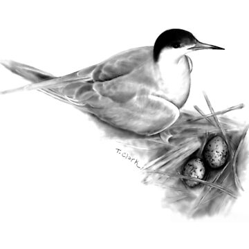 Common Tern (Sterna hirundo) by edenart