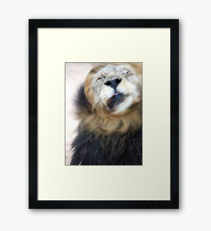 Lion Shaking Off Water Framed Print