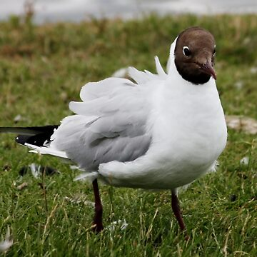Black Headed Gull Ruffled by AnnDixon
