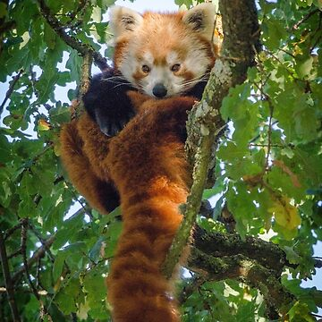 Red panda in a tree by photosbygemmad