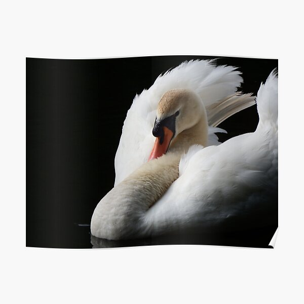 3457 Photo Picture Poster Print Art A0 A1 A2 A3 A4 Animal Poster MUTE SWAN