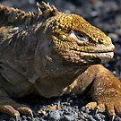 Galapagos Land Iguana by citrineblue
