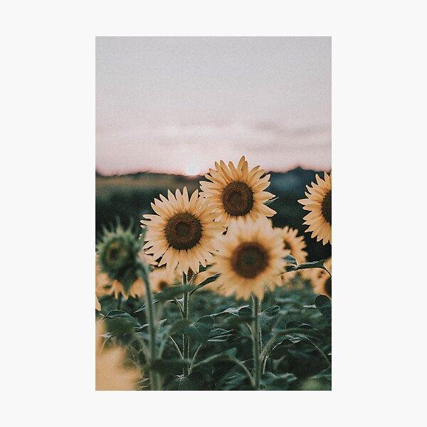Sunflowers + Sunset Photographic Print