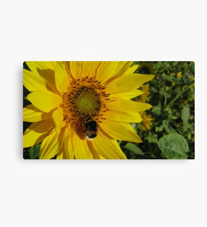 Sunflowers, Belgium Canvas Print