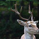Male Fallow deer by debfaraday