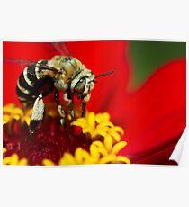 Honeybee macro on red Poster